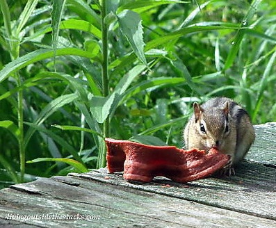 Chipmunk Eating Beggin' Strip