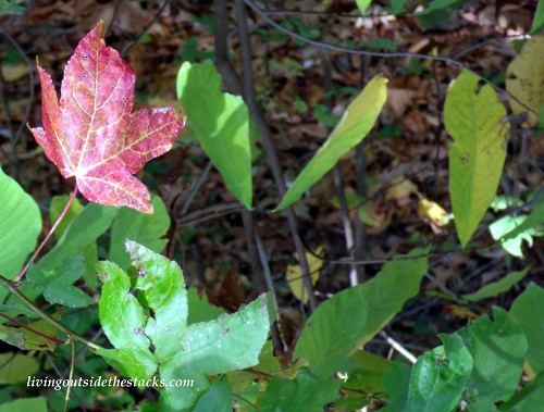 Shades of Autumn Photo Challenge: Red