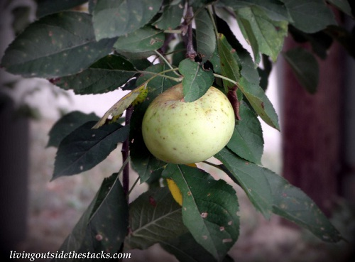 Shades of Autumn Photo Challenge: Green Apple