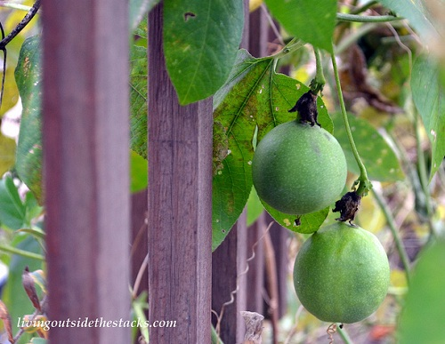 Shades of Autumn Photo Challenge: Green Pods