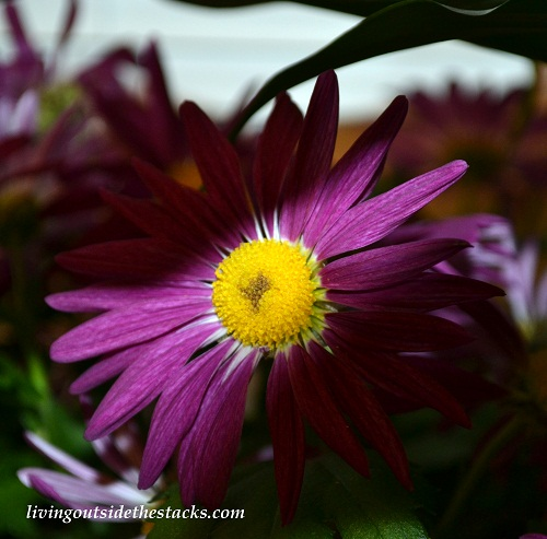 Shades of Autumn Photo Challenge: Purple Flower
