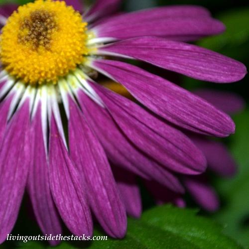 Shades of Autumn Photo Challenge: Purple Flower