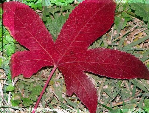Shades of Autumn Photo Challenge: Red Leaf