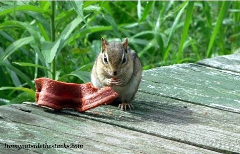 Chipmunk Eating Beggin Strip