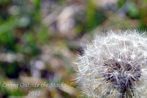 Dandelion {Shoot. Edit. Submit.}