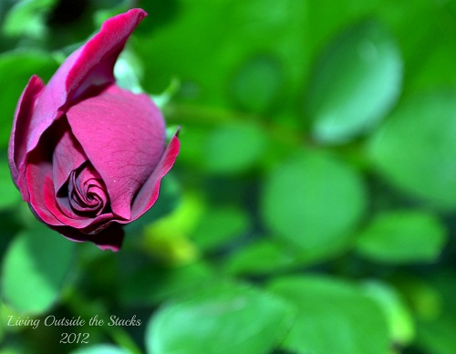 Rose {This or That Thursday}