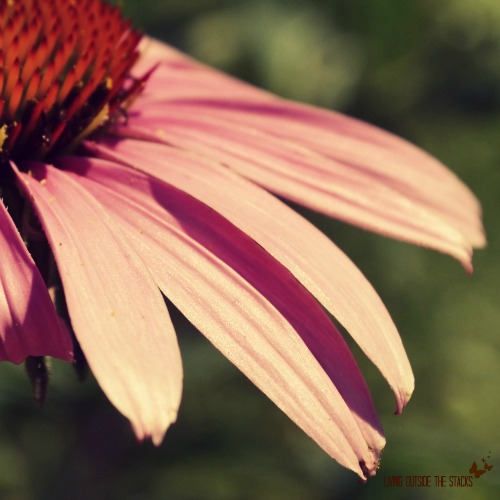 {P is for Petal} Day 3 #FMSphotoaday