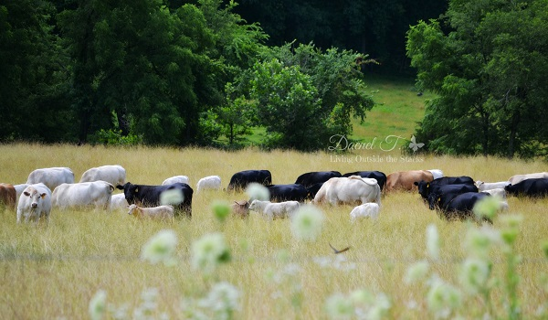 Cows #OurProject52 #VisitCape {Living Outside the Stacks}