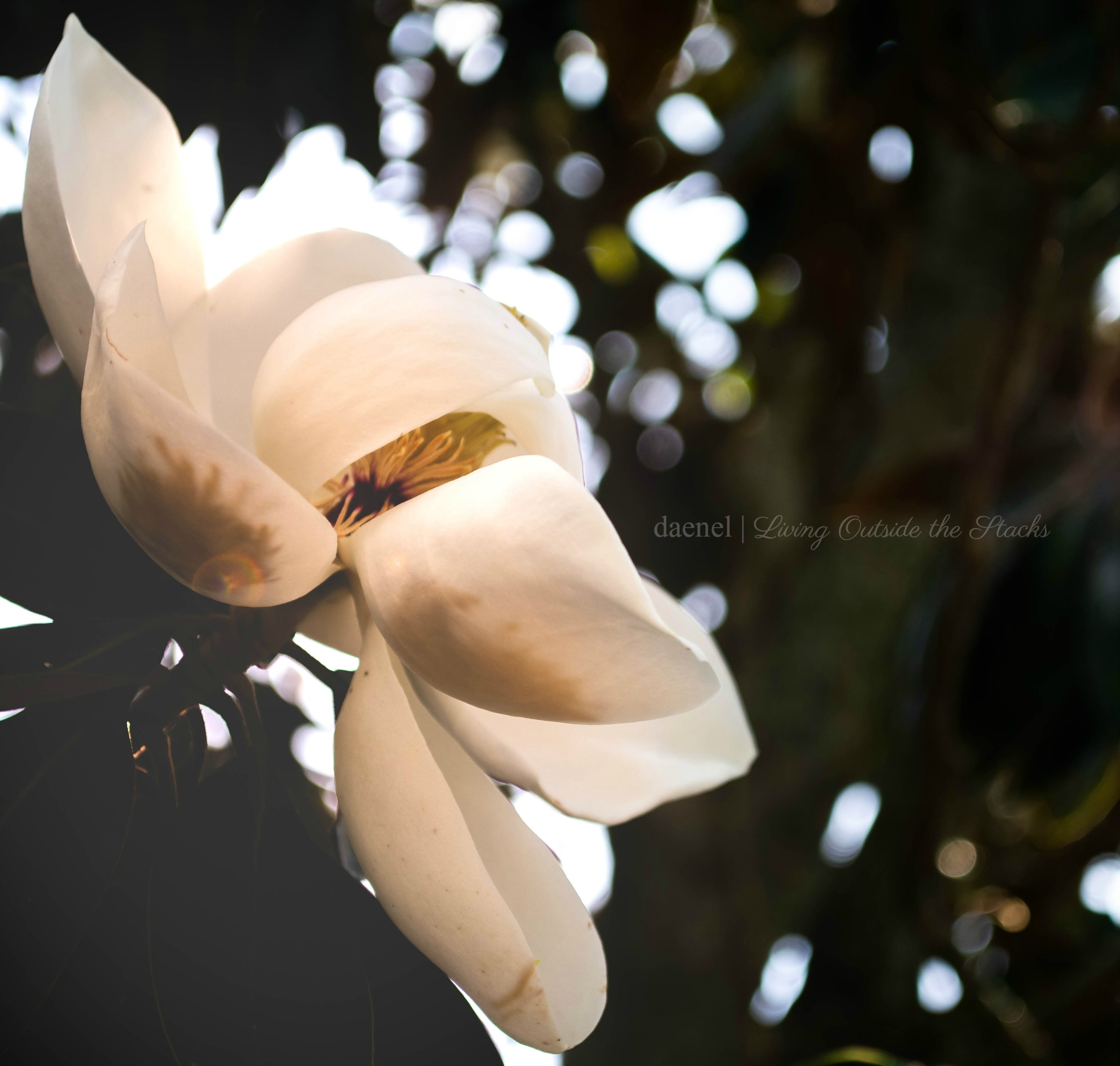 Magnolia Edited {living outside the stacks}