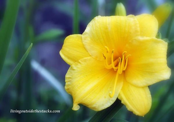 Crazy Days of Summer Photo Challenge:  Yellow