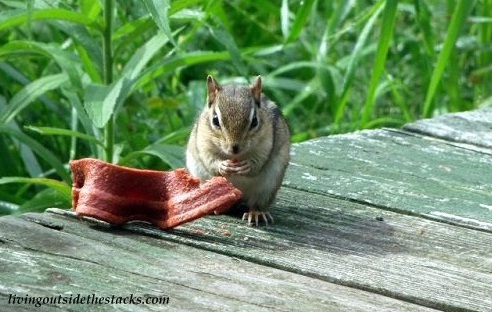 Chipmunk Eating a Beggin' Strip
