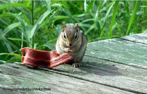 Chipmunk Eating Beggin Strip
