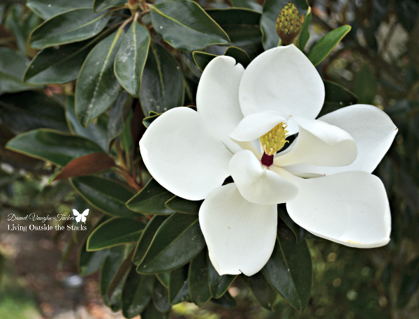 Magnolia Blossom {Living Outside the Stacks}