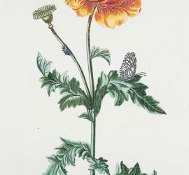 """Papauer I 'Morpheus' [Memorial Day Poppy]"""